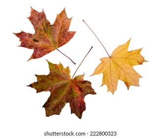 Maple tree leaves with autumn colors, isolated on white background
