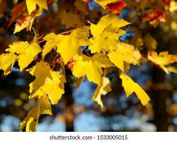 Maple tree leaves chaning color to yellow  in early autumn in new england connecticut United States.