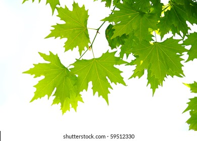 Maple tree leaves Close-Up
