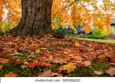 Maple tree in London Ontario Canada