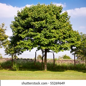 Maple tree in the park