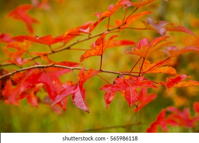 The maple tree scenery in autumn