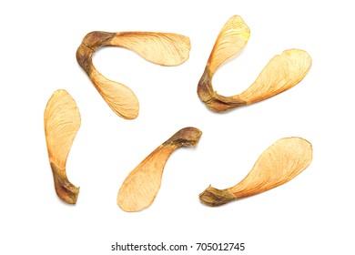 Maple tree seeds isolated on white