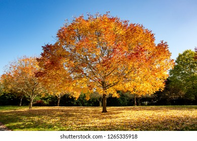 Maple tree in the sun showing autumn fall colors