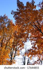 maple tree in sunlight