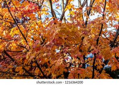 A maple tree in Toronto Ontario Canda with changing leaves. Orange leaves with red with dark bark covered tree limbs.
