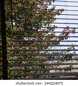 Maple tree turning colors in the fall through window blinds.