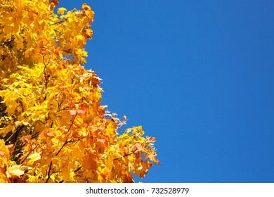 maple tree with yellow leaves on background of blue sky
