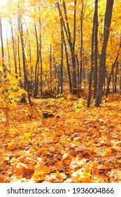 Ahornbaum mit gelbem, rotem und orangefarbenem Blattwerk im Herbstwald. Ruhige Herbstsaison. Vertikaler Hintergrund mit Laubbäumen. Sonnige Herbstlandschaft