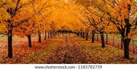 maple trees along driveway autumn leaves stock photo edit now