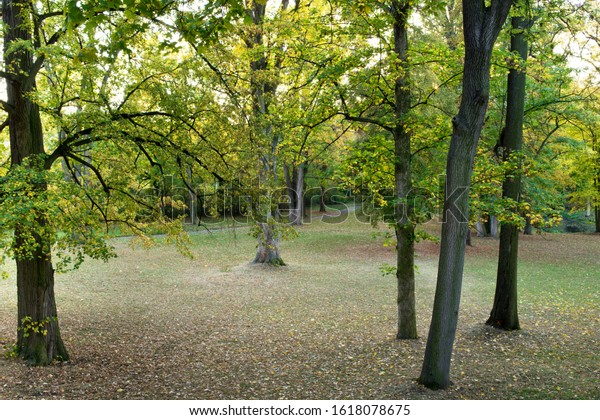Maple Trees in the forest.