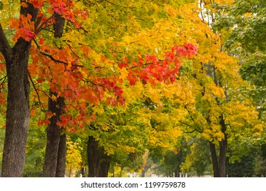 Maple trees with yellow and red leaves in the fall in the park, autumn theme