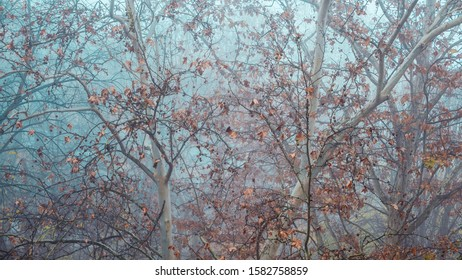 Maple treetop with dry leaves in foggy winter morning, abstract nature background