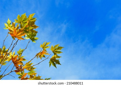 Maple twigs with large leaves are photographed against the autumn blue sky. There is copy space in the right part of the image.