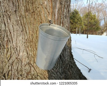 Maple water harvest for making maple syrup.