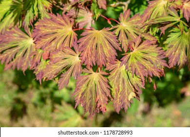 A Maple/Acer in September on a sunny day, with a shallow depth of field