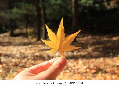 mapleleaf  autumn  yellow    Emotion  color