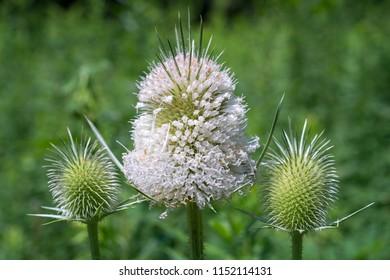 Mapleleaf Viburnum in Bloom