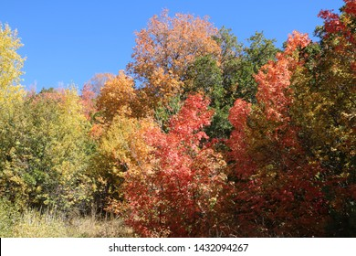 Maples show their peak fall foliage in Red and Yellow leaves in the Wasatch Mountains near Morgan, Utah by late September