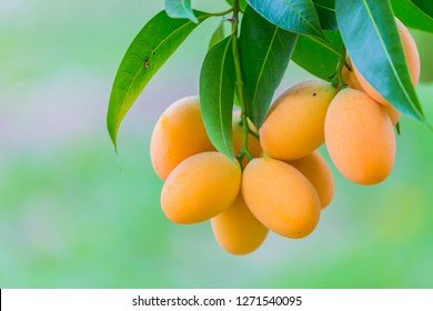 Mapping,Mayongchid (in Thai) or Plum mango (in English) is a native fruit of Thailand. It is one of most popular fruits