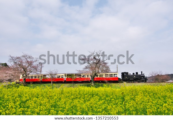 Mar 2019 - Chiba,JAPAN: Kominato Railway - A steam locomotive  passing through the cherry blossoms and carpet of rapeseed flowers at Itabu Station.
