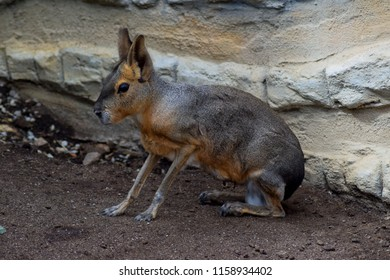Mara steppe is a relatively large mammal inhabiting the arable pasture and open half-wilderness of central and southern Argentina. Mara steppe is a very special mammal and looks rather like a hare.