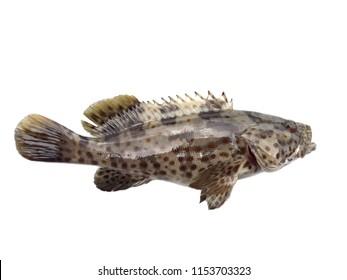 Marabar rock cod,estuary grouper fish isolated