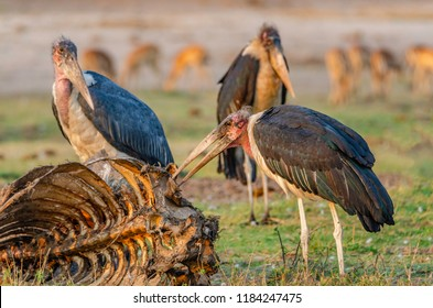Marabou stork, being watched by other storks, is using its huge bill to feed on rotting carcass of dead wildebeest.  This large African wading bird known as the Undertaker Bird is a scavenger.