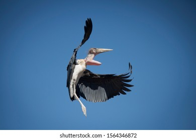 Marabou stork flying with blue sky