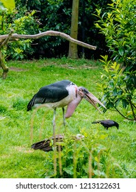 Marabou stork (Leptoptilos crumenifer) standing with his bill open. This large wading bird in the stork family has huge bill, a pink gular sac at its throat, a neck ruff, and black legs and wings.