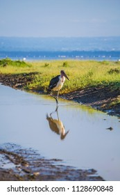 Marabou stork on the lake shore reflected