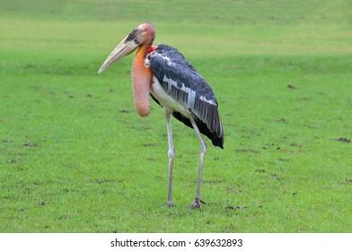 Marabou stork in Safari World Bangkok, Thailand
