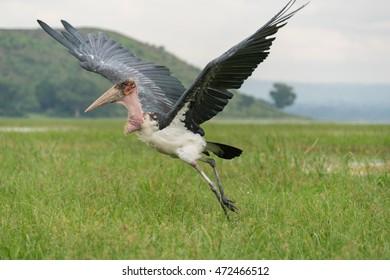 A Marabou Stork scavenger bird about to take off for flight near Hawassa Lake