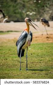 Maraboustork bird in the nature