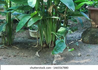 Maranta arundinacea, arrowroot plant bushes