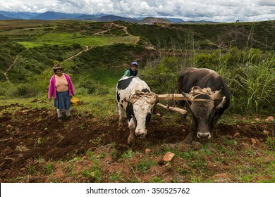 Maras, Peru - December 23, 2013: A Peruvian family plowing the land close to the Moray Inca Terraces, near Maras, in the Sacred Valley, Peru.