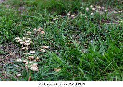 "Marasmius oreades in a so called ""fairy ring"" in a small hill during autumn."