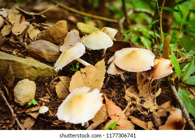 Marasmius oreades, Scotch bonnet,also known as fairy ring mushroom or fairy ring champignon.  A mushroom is fleshy, spore-bearing fruiting body of a fungus, typically produced above ground on soil.