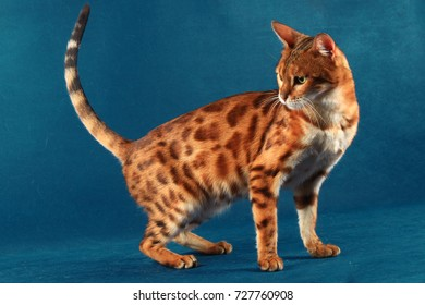 Marble Bengal cat turned back