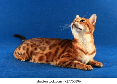 The marble cat of the Bengal breed raised its head against a blue background