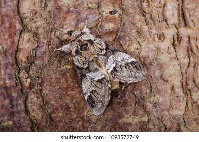 Marbled Brown (Drymonia dodonaea) moth sitting on tree bark