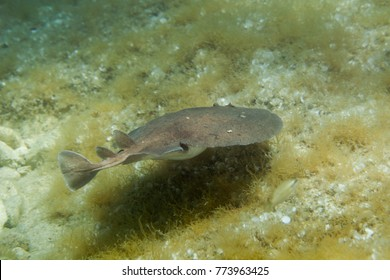 The marbled electric ray (Torpedo marmorata) is a species of electric ray in the family Torpedinidae