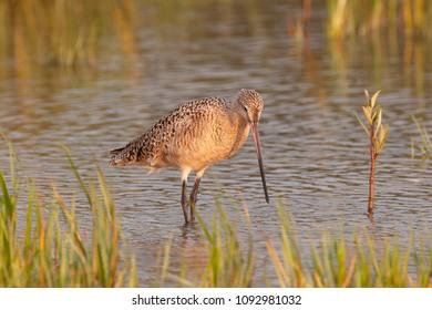Marbled Godwit in Florida Marsh