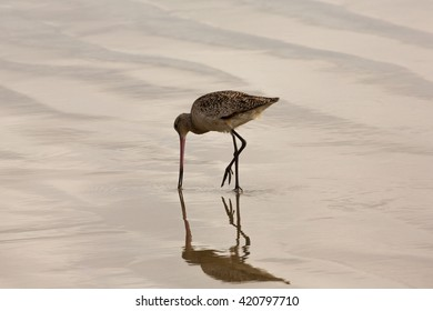 Marbled Godwit and Reflection 1