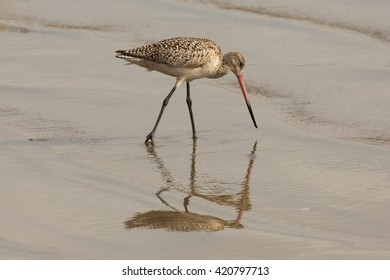 Marbled Godwit and Reflection 2