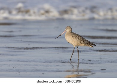Marbled Godwit in surf on beach at Morro Bay California
