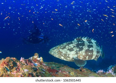 Marbled Grouper fish and Manta Ray on coral reef