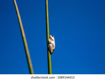 Marbled reed frog at  the Okavango Delta in Botswana during summer period