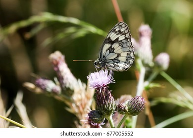 Marbled white butterfly amongst the thistles and grassy seed heads of an English wild flower meadow.