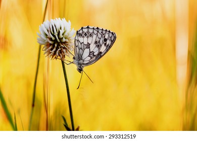 Marbled White Butterfly in the evening sun in Bavaria. Chessboard Butterfly